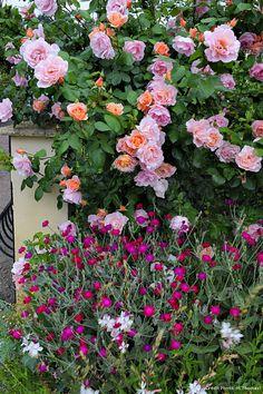 'Opaline' et 'Westerland' Zone 9 Gardening, Gardening Supplies, Container Gardening, Pink Garden, Dream Garden, Planter Rosier, Kordes Rosen, Peaceful Places, Clematis