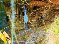 R. Mac Wheeler: Sunday Safari    Blue Heron