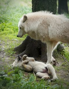 A wolf mom and little one( I'd like to know what kind of wolf but can't find any info)