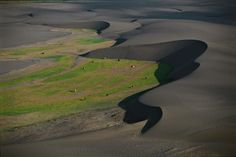 Dairy cows passing between dunes, Maule province, Chile (35°47'S, 72°33'W).