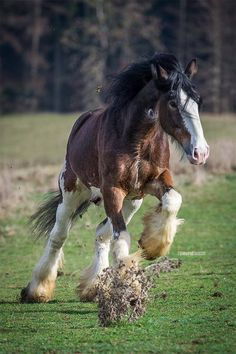 I love Clydesdales! Young horse running through the field tearing up the turf…