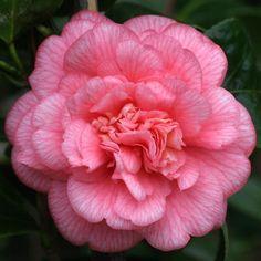 Camellia japonica 'Can Can' (Australia, 1956)