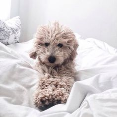25 Australian Labradoodle Puppies You Will Love Cute Puppies, Cute Dogs, Dogs And Puppies, Doggies, Animals And Pets, Baby Animals, Cute Animals, Jungle Animals, Forest Animals