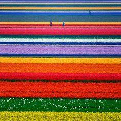 tulip field in alkmaar, netherland