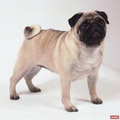 Pug köpekleri hakkında her şey