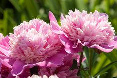 Peonies, How to Choose Peonies, How to Grow Peonies, How to Care for Peonies, Landscaping with Peonies. (Peaonia)