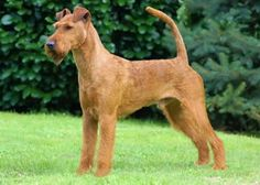 Irish Terrier - The Irish Terrier is nicknamed Daredevil for the reckless fire of its personality. Once called the Irish Sporting Terrier, this breed was used as a ratter and guard dog as well as to flush and retrieve game.