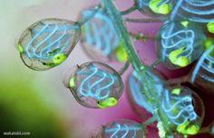 Deep Sea News: Photo of Tunicate Filters