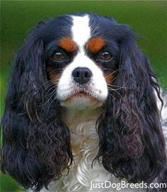 Cavalier King Charles comes in black too! Love Sir Bazzle Bartholomew Gilbert!
