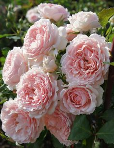 If you are thinking of rose gardening don't let this rumor stop you. While rose gardening can prove to be challenging, once you get the hang of it, it really isn't that bad. Amazing Flowers, Beautiful Roses, Beautiful Flowers, Pink Roses, Pink Flowers, English Garden Design, Home And Garden Store, David Austin Roses, Romantic Roses
