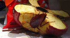 Hay pocas cosas en nuestro hogar tan molestas y asquerosas como las cucarachas. Muchas veces pensamos que que han desaparecido pero estos condenados insectos son capaces de reaparecer y desarrollar anticuerpos para nuestros métodos de deshacernos de ellas. Hoy te contamos una receta casera para que te puedas deshace
