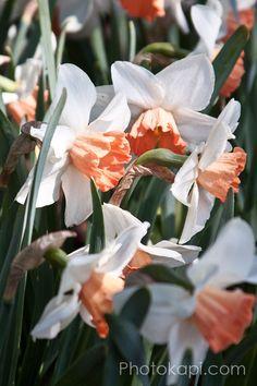 Coral Daffodils Print