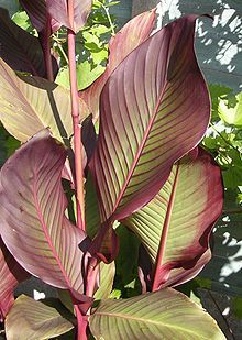 Canna x generalis - often used as a summer bedding plant to create a tropical effect where genuine tropical plants would be unsuitable. Grow in full sun and damp humus enriched soil.