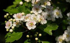 Meidoorn in bloei in Savelsbos; Zuid-Limburg