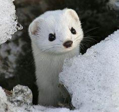 DREAM Photo: White Minks <3 Maybe smuggle one home for my new pet hehehehe jk