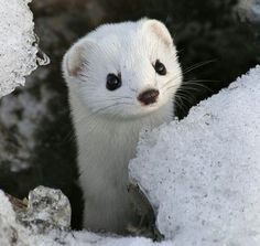 DREAM Photo: White Minks <3 Maybe smuggle one home for my new pet hehehehe jk