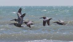 Brown pelicans at Padre Island National Seashore. NPS photo.