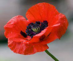 Poppy Related Keywords & Suggestions - Poppy Long Tail Keywords
