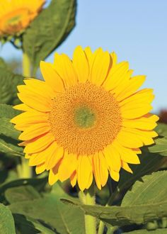 Dazzling blooms and surprising hues give sunflowers real flower power. Try one—or more!—of these towering, sun-loving annuals to boost the fun factor in your Midwest garden.