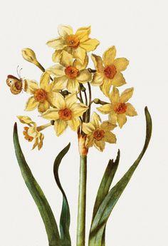 Daffodil and Butterfly – Maria Sybilla Merian