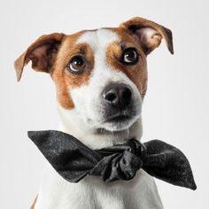 Look at this Jack Russel pup, with his big Doggy Style bow on    Suloinen hännänheiluttaja iso Doggy Style-rusetti kaulassa