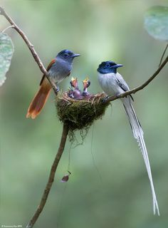 Asian Paradise-flycatcher (Terpsiphone paradisi) @ Merapoh, Pahang, - nature other than humans - Amazing Animals, Cute Animals, Beautiful Birds, Animals Beautiful, Beautiful Family, Beautiful Pictures, Wild Nature, Save Nature, Spring Nature