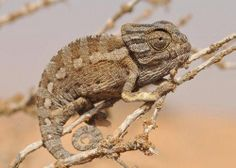 Sinai Chameleon by George Cruiser