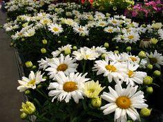 Leucanthemum superbum 'Spoonful of Sugar' PPAF (Shasta Daisy)