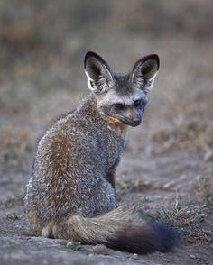 Bat-eared fox (Otocyon megalotis), Serengeti National Park, Tanzania
