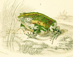 1861 Crapeau vert, Bufo viridis, Planche Originale Batraciens, Zoologie Amphibiens, Histoire naturelle, Erpétologie de la boutique sofrenchvintage sur Etsy