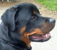 What a good looking Rottweiler