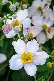 Japanese anemone, or windflower (Anemone tomentosa 'Robustissima') produces single light pink to lavender flowers from late summer through fall on a perennial that tops out at 32 inches in height. Anemones are best grown in shade to partial-shade conditions with room to spread over time. This cultivar is among the most heat and drought tolerant of the fall-blooming windflowers; however, it still requires consistently moist soils to avoid leaf burn and damage to the flowers.