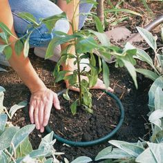 keep spreading plants under control, cut out the bottom of a plastic pot and plant invasive plants like mint in it