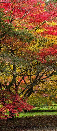 Autumn Colours -Maples, sunlight, UK
