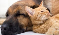 Ebola in Cats and Dogs: What We Know (And Don't Know) Ebola en Gatos y Perros: Lo que se sabe y lo que no se sabe.