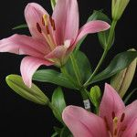 Brindisi Asian Lilies, Lily, Plants, Pink, Orchids, Flora, Plant, Lilies