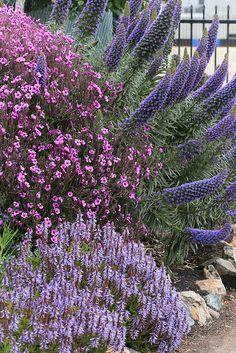 Geranium maderense (pink) Plectranthus zuluensis (ground) & Echium webbii. All drought tolerant.