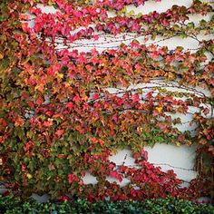 Boston ivy in shades of red, orange, and green climbs the wall in this garden. Sunset Magazine
