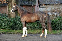 liver chestnut (clipped) - Hanoverian stallion Benicio