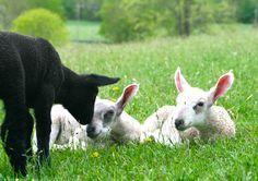 Anna, Apollo & Amelia from The Sachem Farm. www.thesachemfarm.com