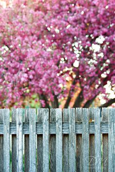 One of several lovely photos from Kemp M Photography. Apple Blossoms, Apple Tree, Garden Spaces, Sky High, Flower Photos, Flower Beds, Fences, Pretty In Pink, Flora