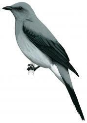 Black-winged Cuckoo-shrike (Coracina melaschistos)