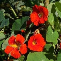 NASTURTIUM (Indian Cress): Used for coughs, colds & flu, expectorent, antibiotic, antiseptic, antifungal. Can be used to treat baldness, rashes & other skin conditions.
