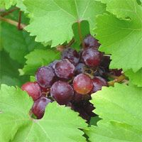 Grapes. Wonder if I can grow scupanogs this far north? Plant Care Guides :: National Gardening Association