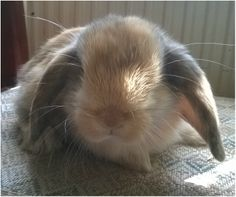 Kits for Sale Mini Lop Bunnies, Holland Lop Bunnies, Bunny, Animals, Animaux, Hare, Animal, Rabbits, Animales
