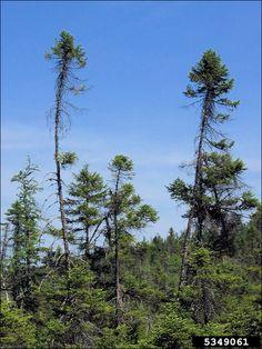 ISU Forestry Extension - Tree Identification: Black Spruce (Picea ... Tree Identification, Spruce Tree, Newfoundland And Labrador, New Brunswick, Landscape Art, British Columbia, Wisconsin, North America, Trees