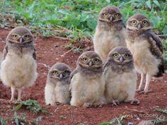 Burrowing Owl  Family Portrait by Livia Teodoro