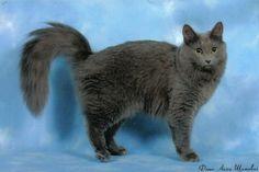 nebelung cat | Nebelung Cat. My cat is a nebelung.