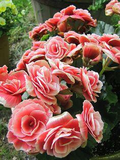 Begonias. Beautiful!