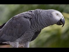 Parrots have musical tastes, with some preferring classical works and others pop tunes, scientists have found. But the creatures do not like dance music.My bird likes me to sing and joins in Pretty Birds, Beautiful Birds, Animal Intelligence, Budgies, Parrots, African Grey Parrot, Bird Pictures, Bird Watching, Beautiful Creatures